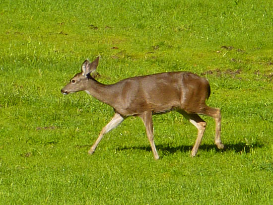 Grassy meadows along the Earthquake Trail attract deer and other wildlife