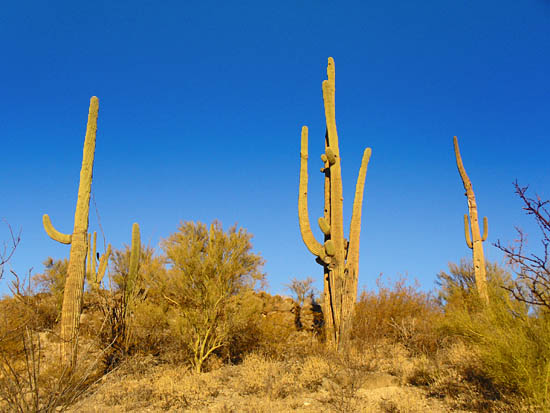 Saguaro forests on the Tanque Verde Ridge Trail