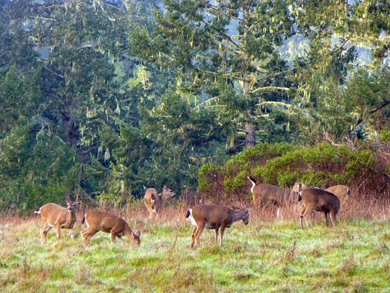 A group of Black Tailed Deer congregate off the Mt Wittenberg Trail